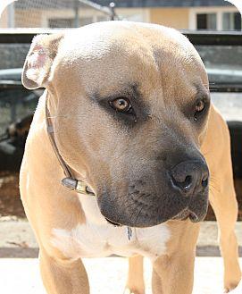 American Pit Bull Terrier/Mastiff Mix Dog for adoption in Lafayette, California - Atlas- URGENT! FOSTER NEEDED!