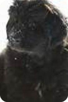 Newfoundland/Poodle (Standard) Mix Puppy for adoption in Oswego, Illinois - Willow