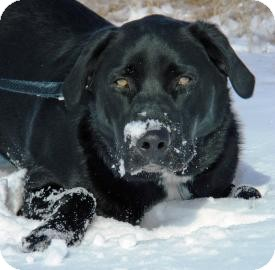 Labrador Retriever Mix Dog for adoption in Cheyenne, Wyoming - Pippen