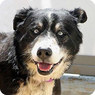 Australian Shepherd Mix Dog for adoption in Berkeley, California - Finnegan