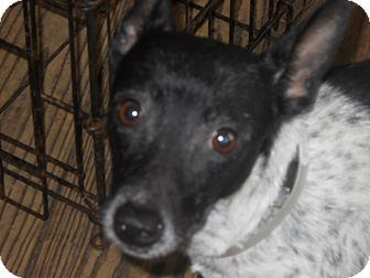 Rat Terrier/Rat Terrier Mix Dog for adoption in Charlotte, North Carolina - Mushie