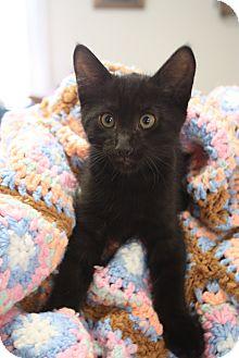 Domestic Shorthair Kitten for adoption in Huntsville, Alabama - Rorey