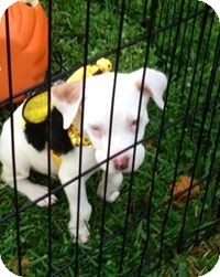 Boxer/Pit Bull Terrier Mix Puppy for adoption in Staunton, Virginia - Boxer Pit Pups