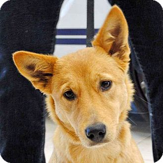 Australian Cattle Dog/Golden Retriever Mix Dog for adoption in Weatherford, Texas - Penny
