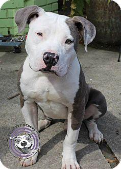 American Bulldog/American Staffordshire Terrier Mix Dog for adoption in Atlanta, Georgia - Pete