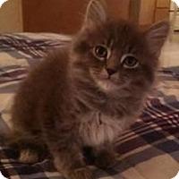 Adopt A Pet :: Lacey - Dallas, TX
