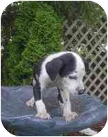Dalmatian/Labrador Retriever Mix Puppy for adoption in Ortonville, Michigan - Turner