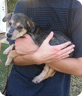 Australian Cattle Dog Mix Puppy for adoption in Cathedral City, California - Rowdy