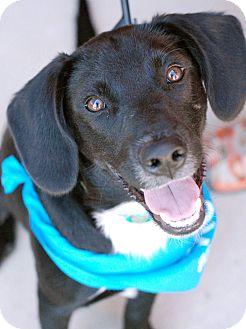 Labrador Retriever Mix Puppy for adoption in Knoxville, Tennessee - Jett