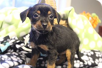 Yorkie, Yorkshire Terrier/Dachshund Mix Puppy for adoption in Allentown, Pennsylvania - Manning