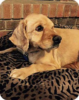 Cocker Spaniel Dog for adoption in Santa Barbara, California - Dorrie