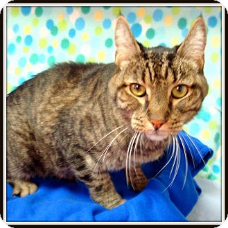 Domestic Shorthair Cat for adoption in Glendale, Arizona - Gus