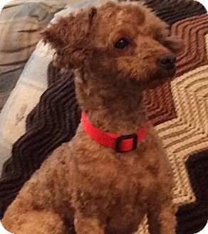 Poodle (Toy or Tea Cup) Mix Dog for adoption in Worcester, Massachusetts - Henry: Pocketful of Sunshine
