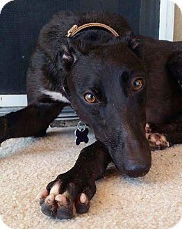 Greyhound Dog for adoption in Tucson, Arizona - Sunni