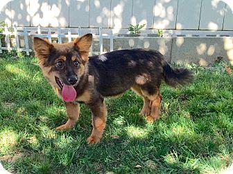 Corgi/German Shepherd Dog Mix Puppy for adoption in La Mirada, California - Murphy