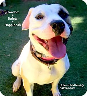 American Pit Bull Terrier/Pointer Mix Dog for adoption in Hermosa, California - Harleydog