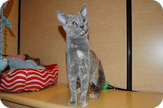 Domestic Shorthair Cat for adoption in Whittier, California - Patty
