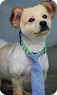 Pomeranian Mix Dog for adoption in South El Monte, California - Mr.Fox