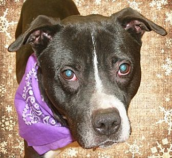 Labrador Retriever/Pit Bull Terrier Mix Dog for adoption in Cincinnati, Ohio - Todd