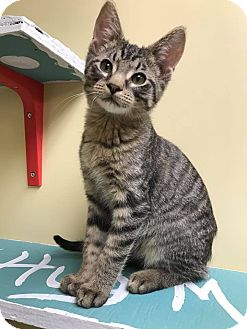 Domestic Shorthair Kitten for adoption in Maryville, Missouri - Marty