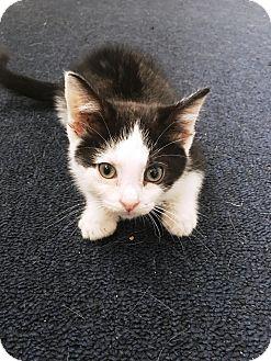 Domestic Shorthair Kitten for adoption in Edinburg, Pennsylvania - Eevee