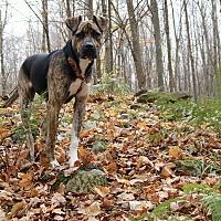 Boxer/Labrador Retriever Mix Dog for adoption in Monteregie, Quebec - Harvey