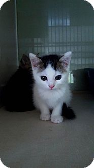 American Shorthair Kitten for adoption in Fairmont, West Virginia - Franken Berry
