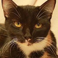 Domestic Mediumhair Cat for adoption in Savannah, Missouri - Georgie