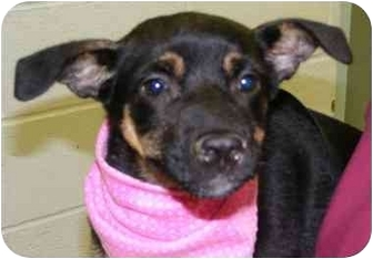 German Shepherd Dog/Terrier (Unknown Type, Small) Mix Puppy for adoption in Claymont, Delaware - Harriet