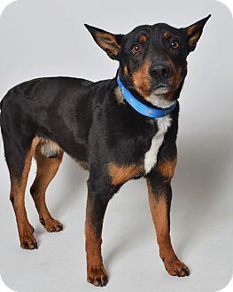 Australian Cattle Dog/Shepherd (Unknown Type) Mix Dog for adoption in Fruit Heights, Utah - Lewis