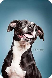 Staffordshire Bull Terrier/Labrador Retriever Mix Dog for adoption in FOSTER, Rhode Island - Cora