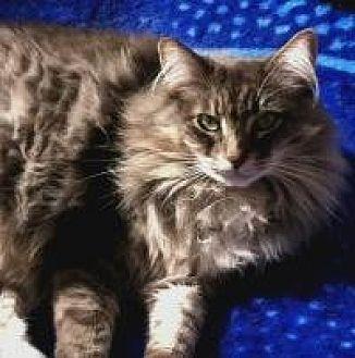 Domestic Longhair Cat for adoption in Calimesa, California - Julia