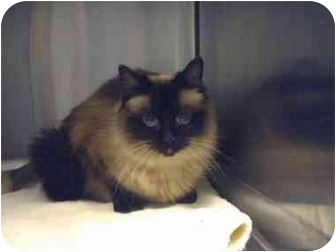 Himalayan Cat for adoption in Saanichton, British Columbia - Jada