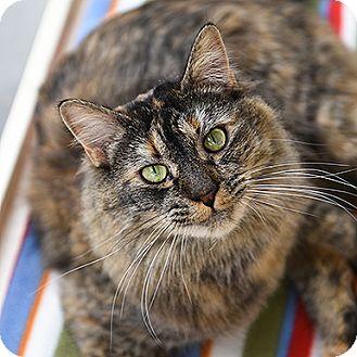 Domestic Mediumhair Cat for adoption in Kanab, Utah - Lexi