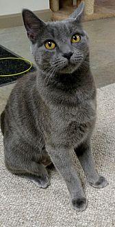 Domestic Shorthair Cat for adoption in Carlisle, Pennsylvania - MissKitty