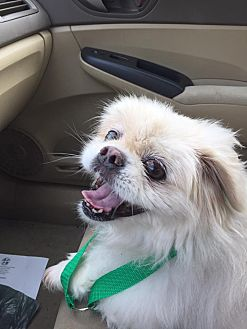 Pekingese Mix Dog for adoption in Richmond, Virginia - Bridget