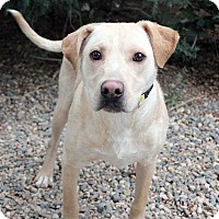 Adopt A Pet :: Berretta - Westminster, CO