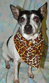 Rat Terrier Mix Dog for adoption in Converse, Texas - MS. KITTY