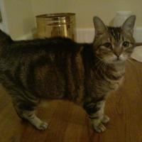 Domestic Shorthair/Domestic Shorthair Mix Cat for adoption in Kinston, North Carolina - Xena