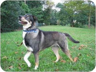Meeko   Adopted Dog   Boyertown, PA   Siberian Husky ...