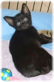 Bombay Kitten for adoption in Naples, Florida - Harrison