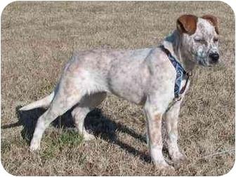 Blue Heeler Mix Dog for adoption in Tulsa, Oklahoma - Ratchett