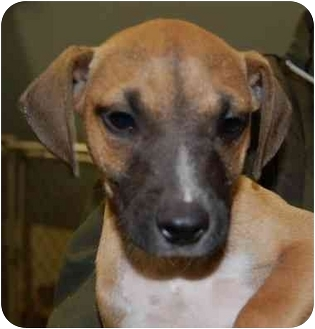Hound (Unknown Type) Mix Puppy for adoption in Gallatin, Tennessee - Emmit