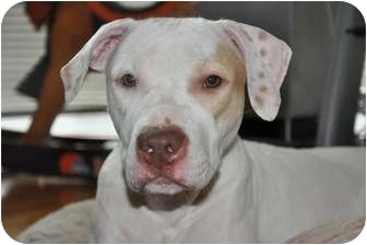 American Pit Bull Terrier Puppy for adoption in Long Beach, New York - Lucille