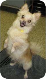 Pomeranian Mix Dog for adoption in Munster, Indiana - Laverne
