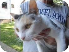 Calico Cat for adoption in Warren, Ohio - PollyAnna