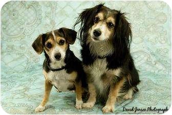 Cavalier King Charles Spaniel/Papillon Mix Dog for adoption in Anchorage, Alaska - Missy