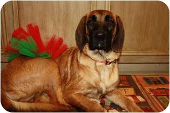 Great Dane/Labrador Retriever Mix Puppy for adoption in Windham, New Hampshire - BLONDIE