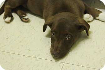 Labrador Retriever/Blue Heeler Mix Puppy for adoption in Philadelphia, Pennsylvania - Edie