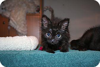 Domestic Longhair Kitten for adoption in Santa Rosa, California - Verity